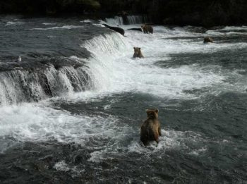 west's pic of bears in river